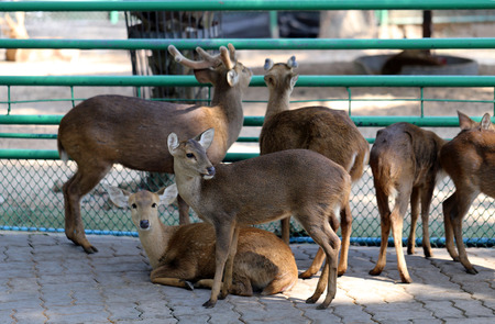 white tail deer: Deer in the zoo photographed close up