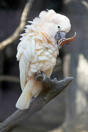 Beautiful white cockatoo parrot photographed close up photo