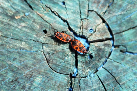 militaire sexy: Deux coléoptère rouge sur une souche de bois photographié de près