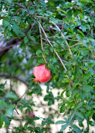 greengrocery: Beautiful delicious fruit pomegranate is photographed close up on a tree