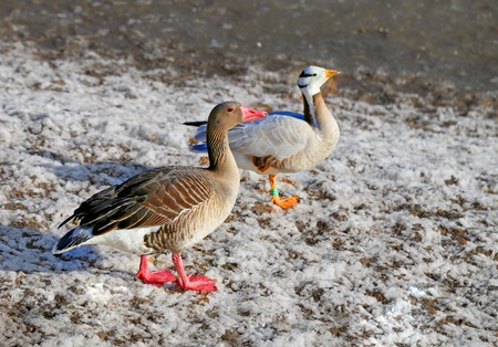 geese: Beautiful geese walk on the earth photographed close up Stock Photo