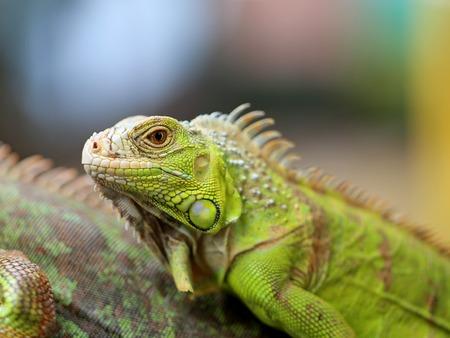 saurian: Beautiful green lizard iguana photographed close up