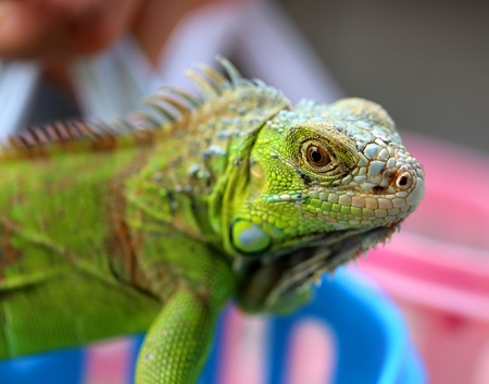 tribal dragon: Beautiful green lizard iguana photographed close up