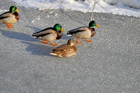 drakes: beautiful ducks and drakes are on ice river photographed close up Stock Photo