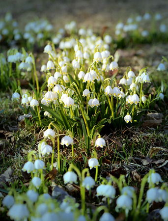 snowdrops: Beautiful spring primroses snowdrops photographed close up Stock Photo