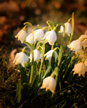 Beautiful spring primroses snowdrops photographed close up Stock Photo