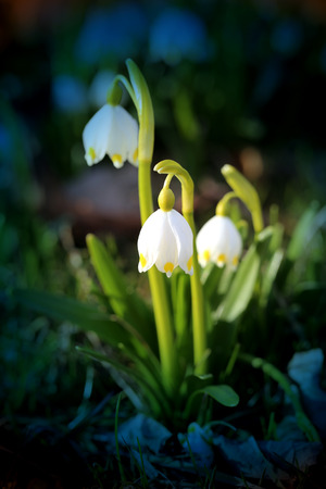 vernal: Beautiful spring primroses snowdrops photographed close up Stock Photo