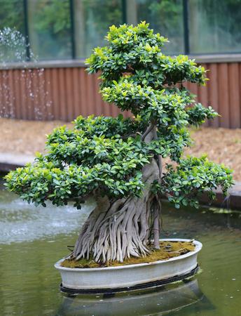 prune: Beautiful bonsai tree photographed in close up