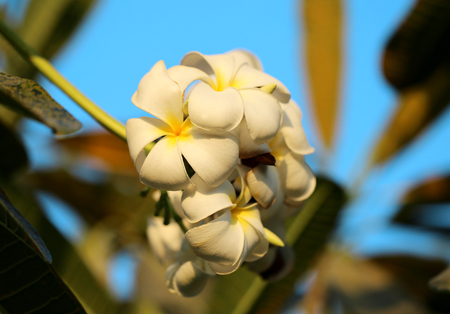 Beautiful flower of plumeria photographed closeup on background of blue sky
