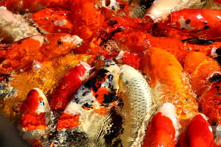 koi: Different colored fish carp in a pond to photograph closeup