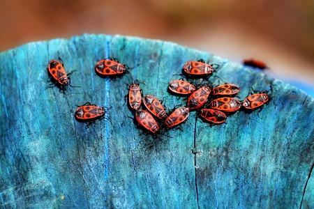 red beetles soldiers