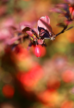 The beautiful red berries of the barberry photographed in close-up Stock Photo