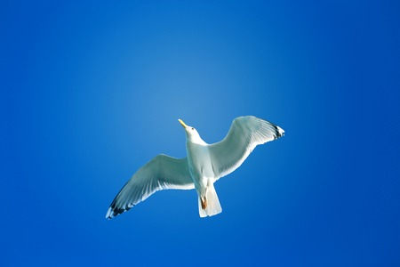 wingspan: Beautiful white Seagull flying in the blue sky
