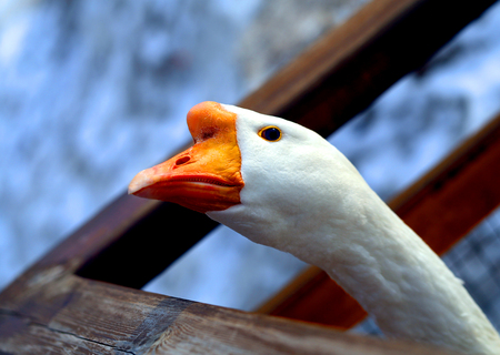 Beautiful Goose with open eye photographed close-up