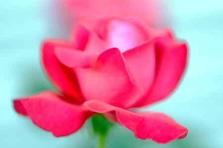 Mooie bloemen rode rozen close-up gefotografeerd op een groene achtergrond