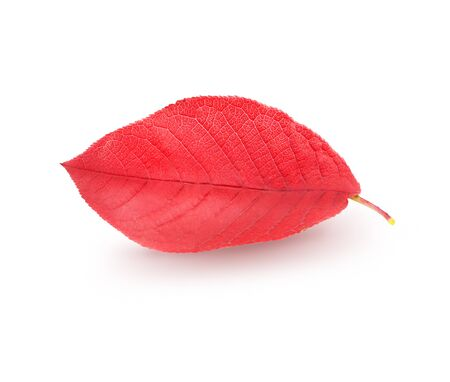 Isolated red tree leave photographed on white background
