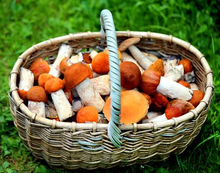 Delicious mushrooms with red caps photographed on a background of green grass Zdjęcie Seryjne - 128901969