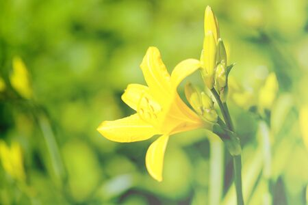 Beautiful yellow lilies photographed close-up on blurred background
