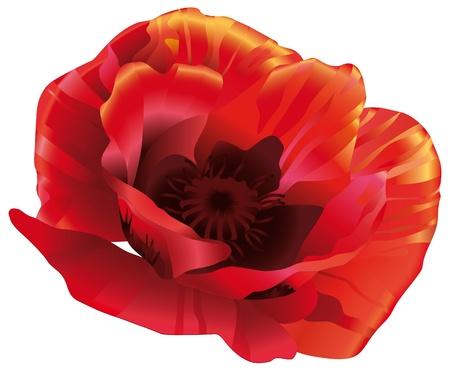 amapola: Flor de la cabeza de amapolas rojas en un estilo realista. Vectores