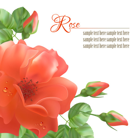 dewdrops: Floral vector background with a red flower rose, leaves, dewdrops Illustration