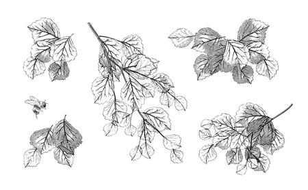 branch: Dessinés à la main des feuilles branche d'arbre fixés. Collection du vecteur feuillage très détaillé isolé sur blanc Illustration