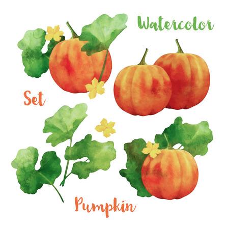 calabaza: La pintura de la acuarela de calabaza conjunto de vectores. Calabazas anaranjadas con las hojas en el fondo blanco