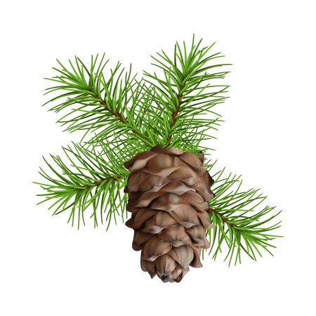 Christmas tree branch hanging pine cone on white background Vectores