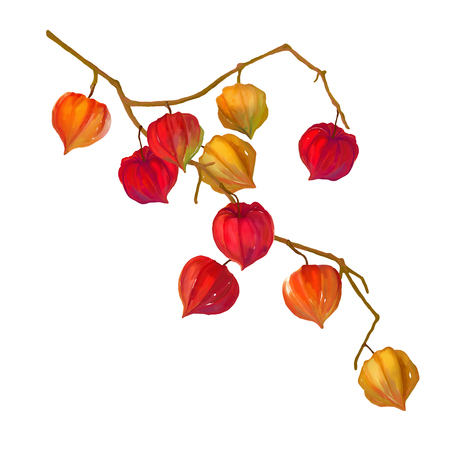 winter cherry: Watercolor hand drawn illustration of physalis fruit berry. Winter cherry on white background Stock Photo