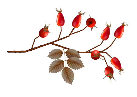 macro leaf: Vector Rosehip berries with leaves on white background