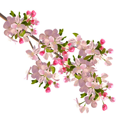 garden flowers: Cherry blossoms branch. Illustration