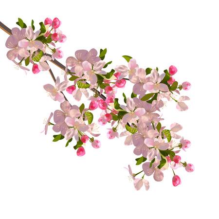 botanical gardens: Cherry blossoms branch. Illustration