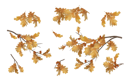 Set of oak autumn branches with leaves and acorns on white background. Vector illustration