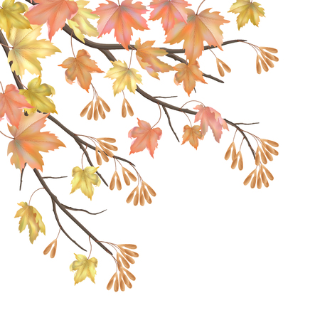 Autumn maple branches and leaves on white background. Vector fall illustration