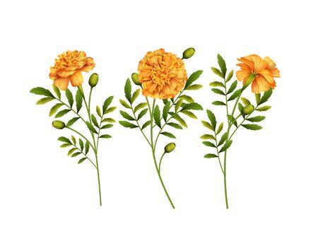 Set of yellow Marigold flowers isolated on white background. Vector illustration