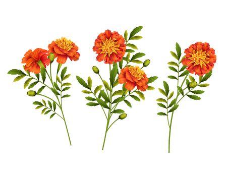 Set of orange Marigold flowers isolated on white background. Vector illustration