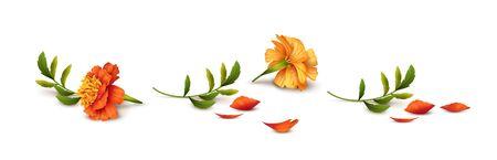Fallen Marigold flowers isolated on white background. Vector illustration Illustration