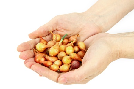 Beautiful womens hands hold the seeds of onions, isolated on a white background.