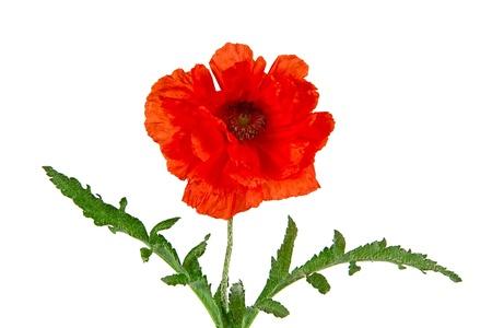 Oriental poppy, Latin Papaver oriental, isolated on a white background photo