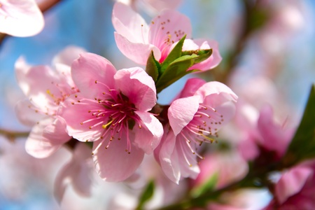 Blooming peach tree on blue sky background Stock Photo