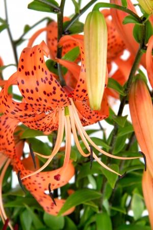 lilium: Tiger Lily, Lat. Lilium lancifoliu