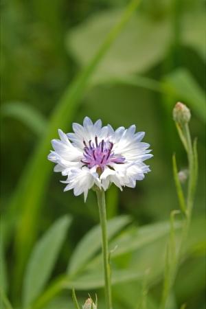 centaurea: Cornflower in the meadow, Latin Centaurea Stock Photo