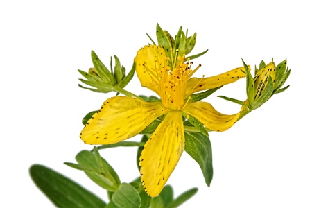 Flower of Hypericum (Latin Hypericum), isolated on a white background photo