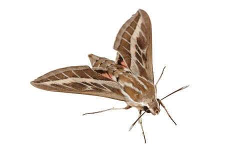 gallii: Bedstraw Hawk-Moth or Gallium Sphinx (Lat. Hyles gallii), isolated on a white background Stock Photo