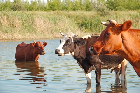 Cows is rescued from the summer heat in the river