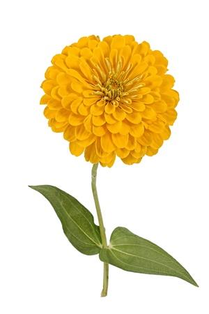 Flower of zinnia (Lat. Zinnia), on a white background