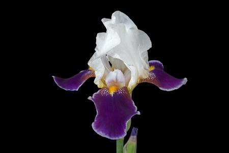 Flower of iris, lat  Iris, isolated on black backgrounds photo