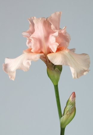 Flower of iris, lat  Iris, isolated on gray backgrounds photo