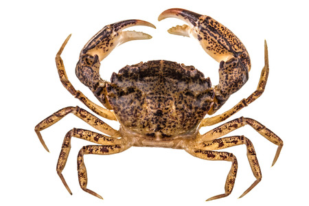 crab: Crab, isolated on white background Stock Photo