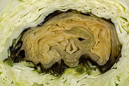 sear and yellow leaf: Spoiled rotten cabbage close-up