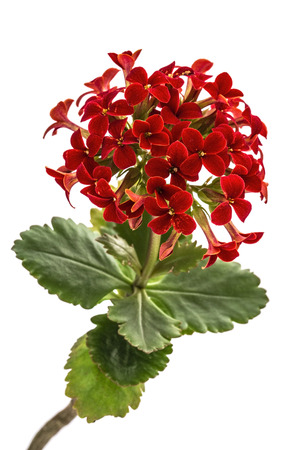 Flower Kalanchoe, tropical succulent, isolated on white background